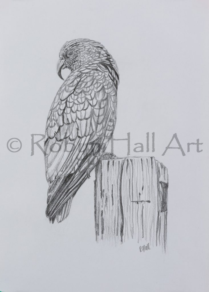 Kea Pencil Drawing 2016