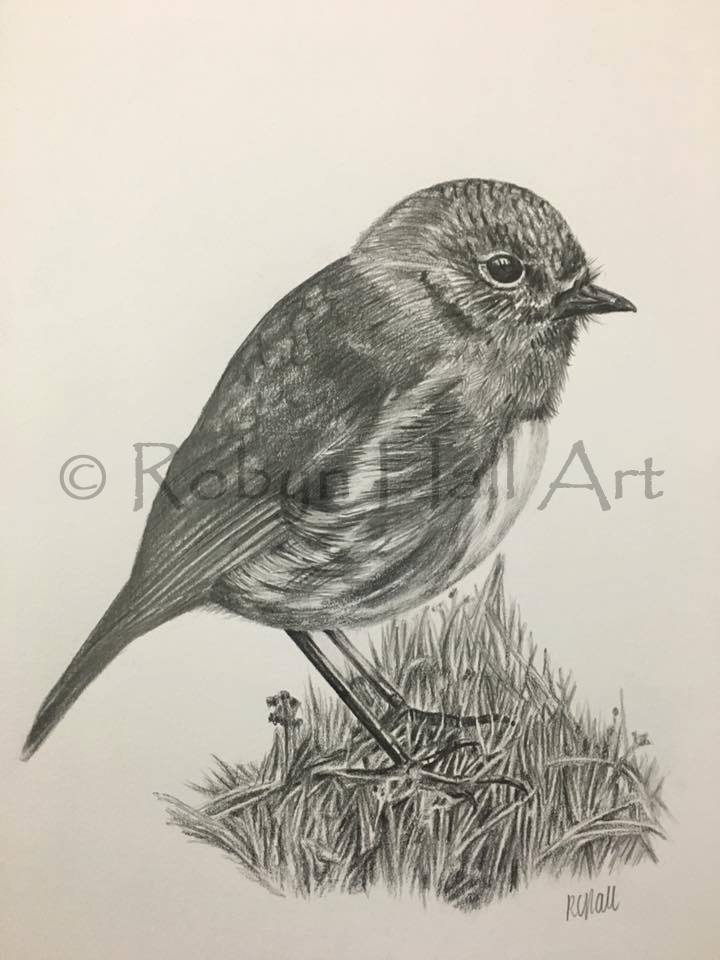 South Island Robin 2016